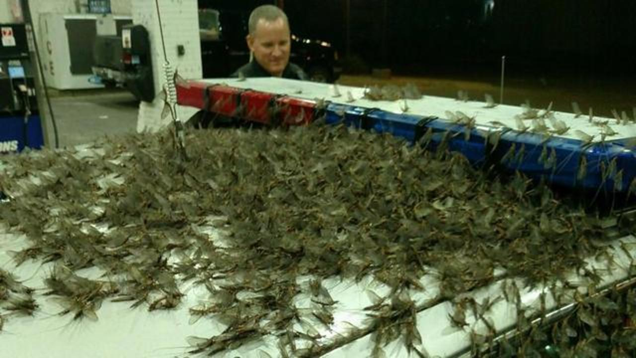 Swarm Of Mayflies Cover Police Car, Bridge In Viral Photos