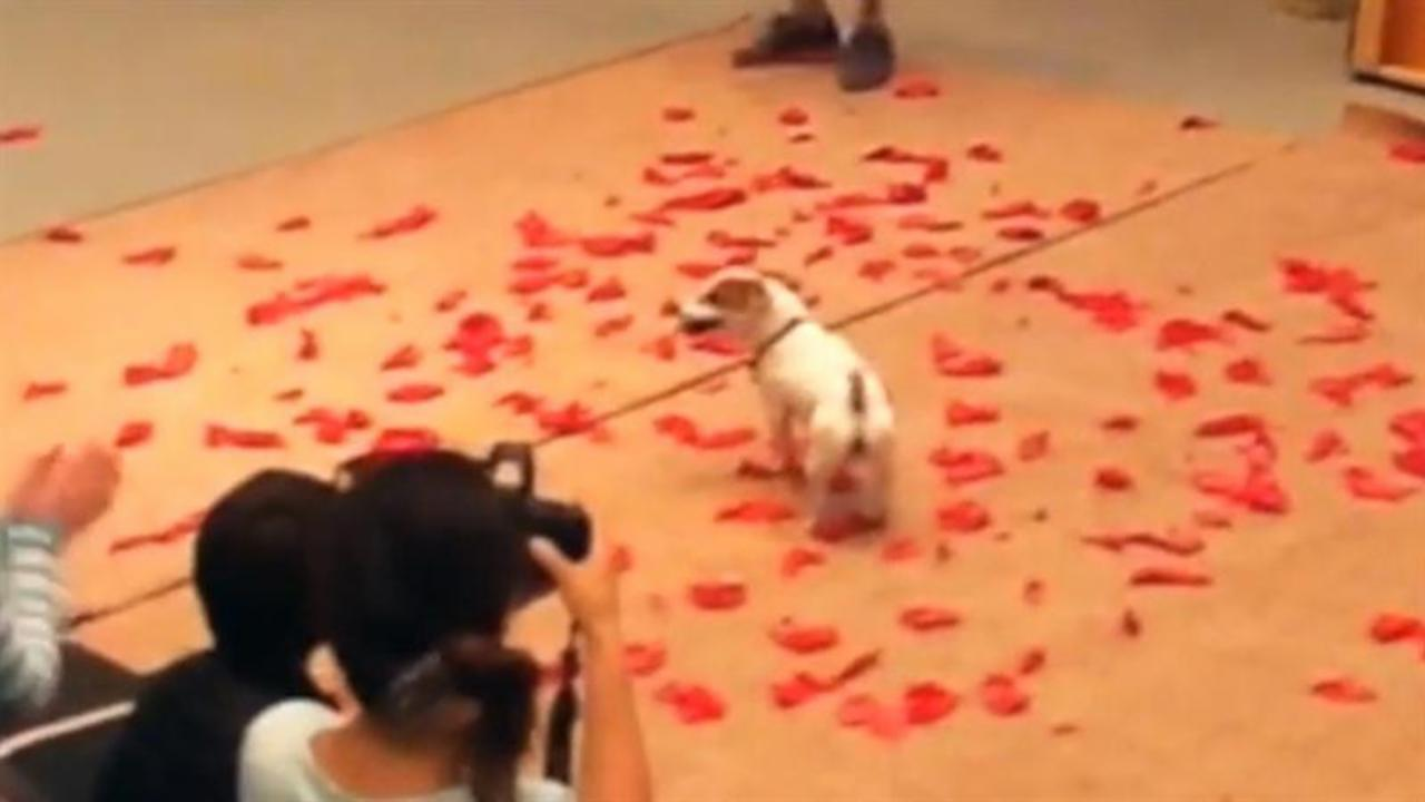 See this pup set record by popping 100 balloons in less than 40 seconds!