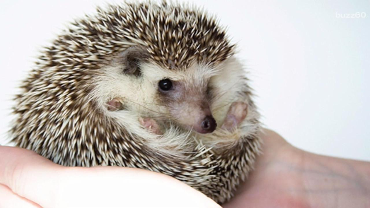 You Can Apply to Be a Hedgehog Officer
