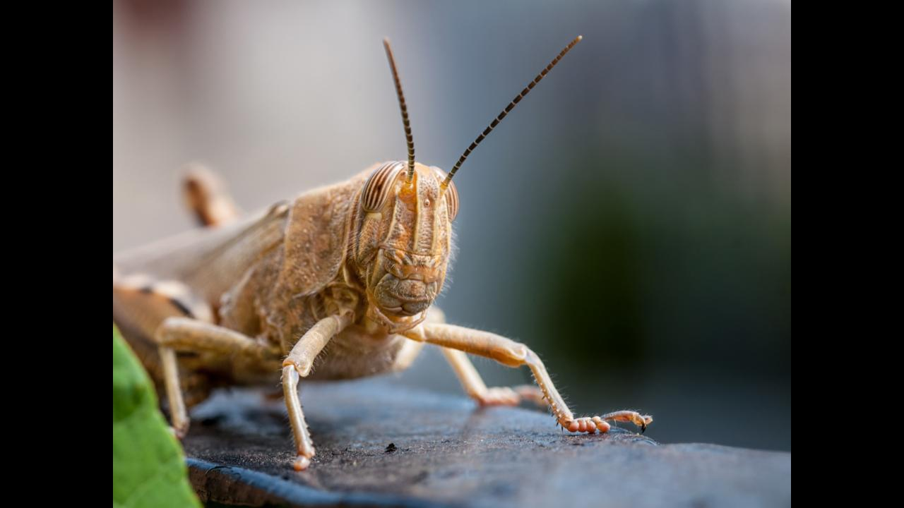 Locusts - the next generation of bomb sniffers