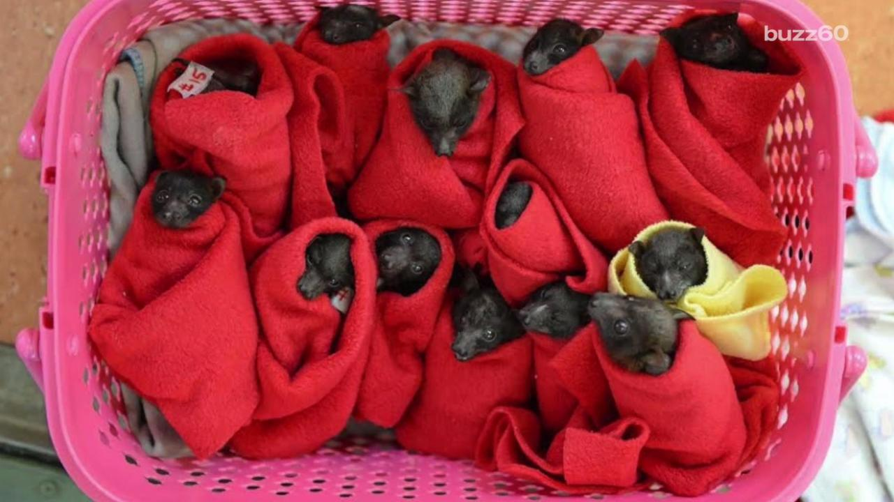 28 Rescued Baby Bats Given Blankets and Pacifiers