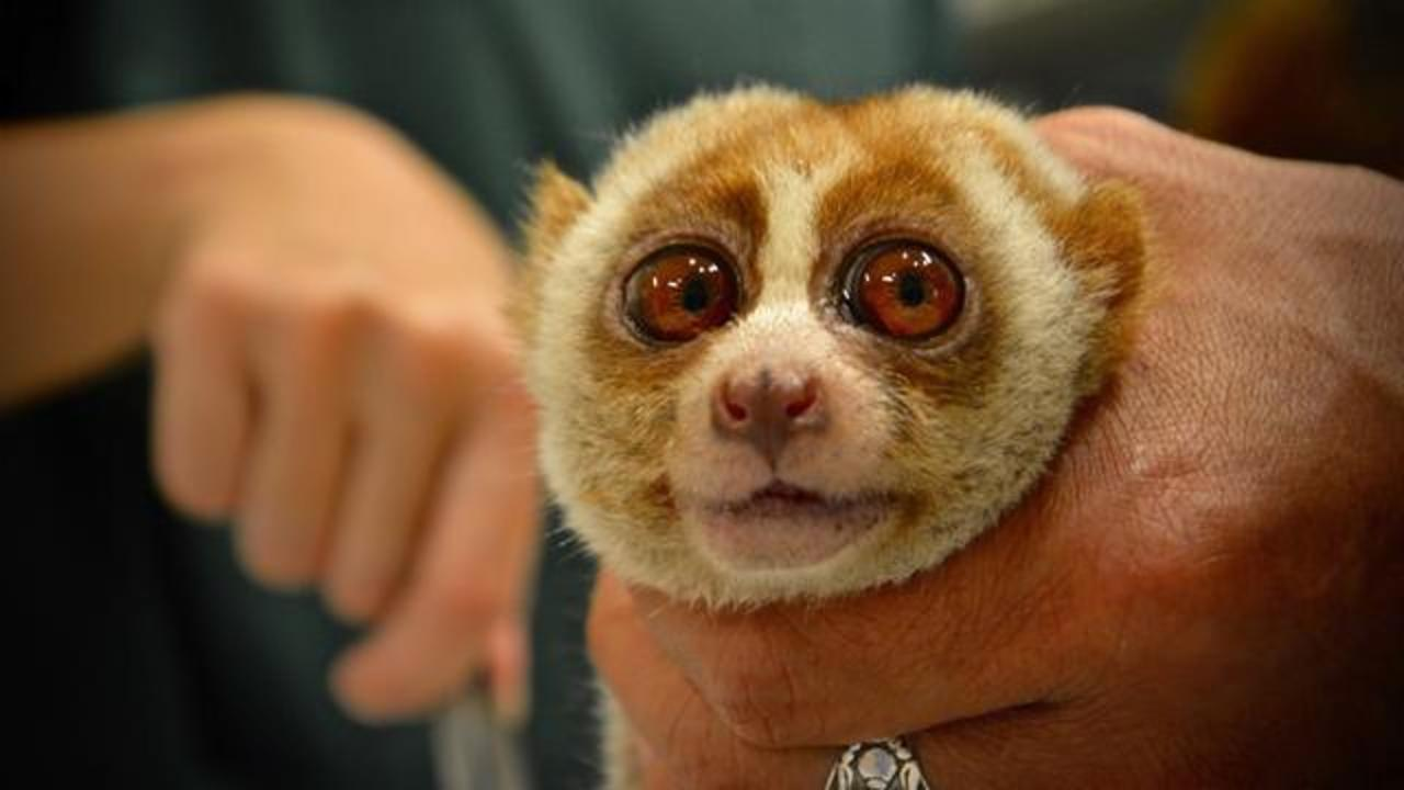 Slow Loris Likely Used For Selfies Had His Teeth Clipped