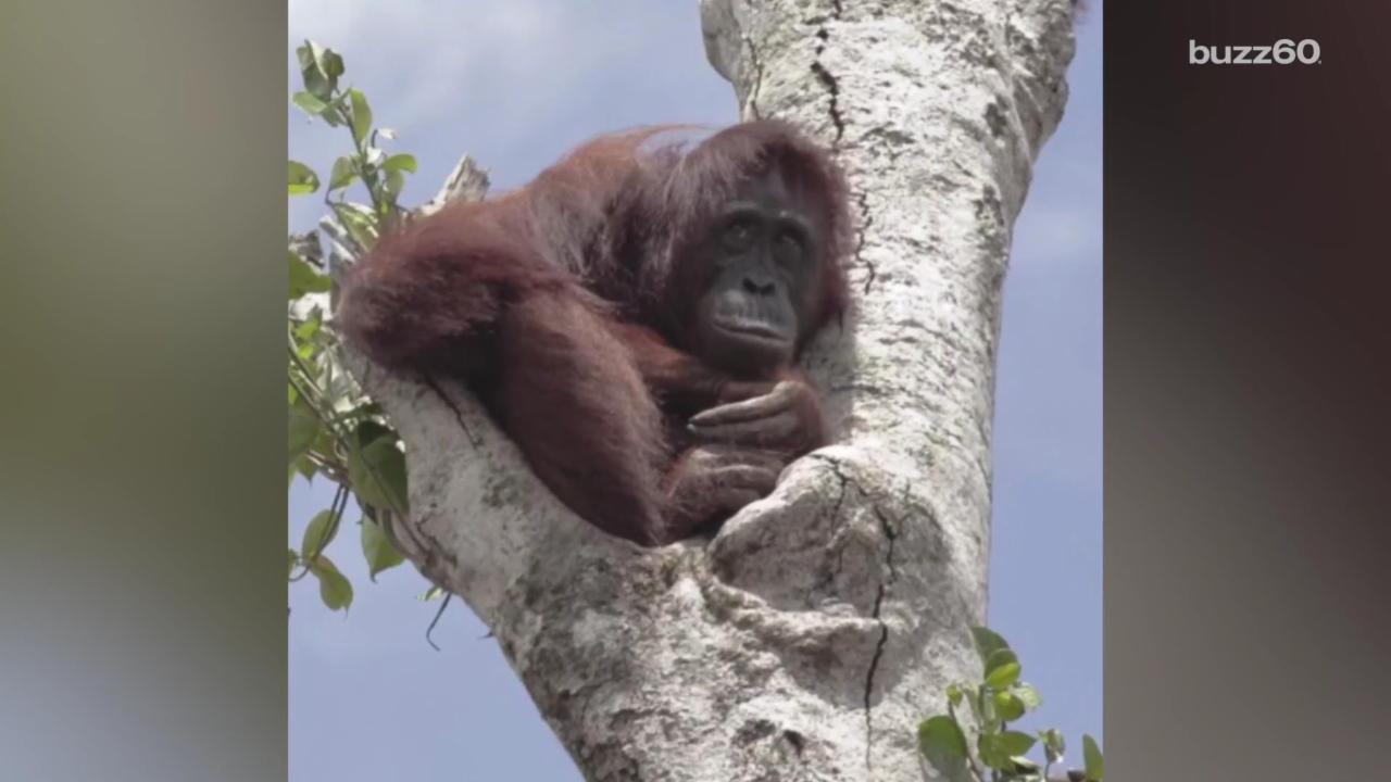 Orangutan Clings to His Home After Being Left 'Stranded, Starving and Left to Die'