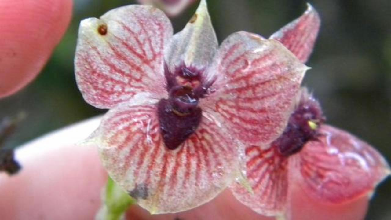 Orchid With A Heart Resembling The Head Of A Devil Found In Colombia