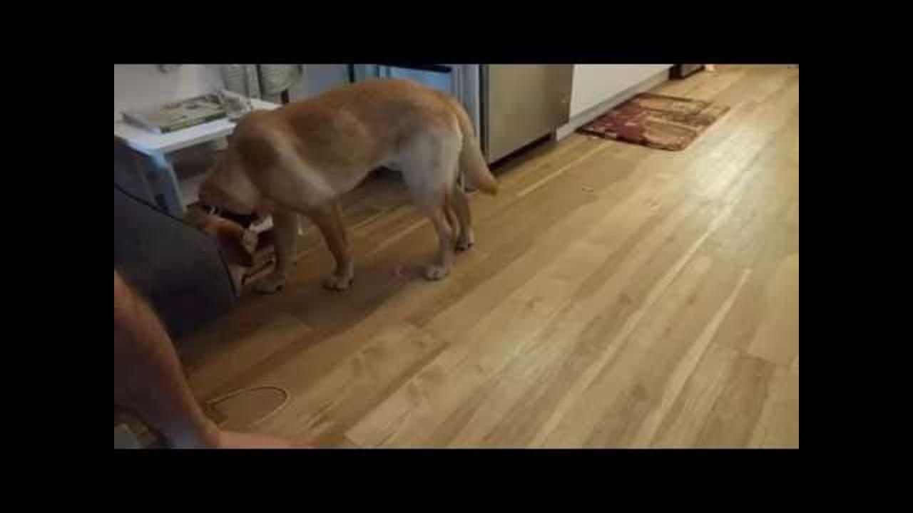 Adorable Labrador Ignores Owner Until Food Is Mentioned