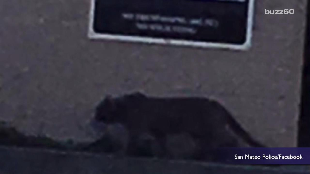 Police Respond to 'Mountain Lion' but Get a Surprise