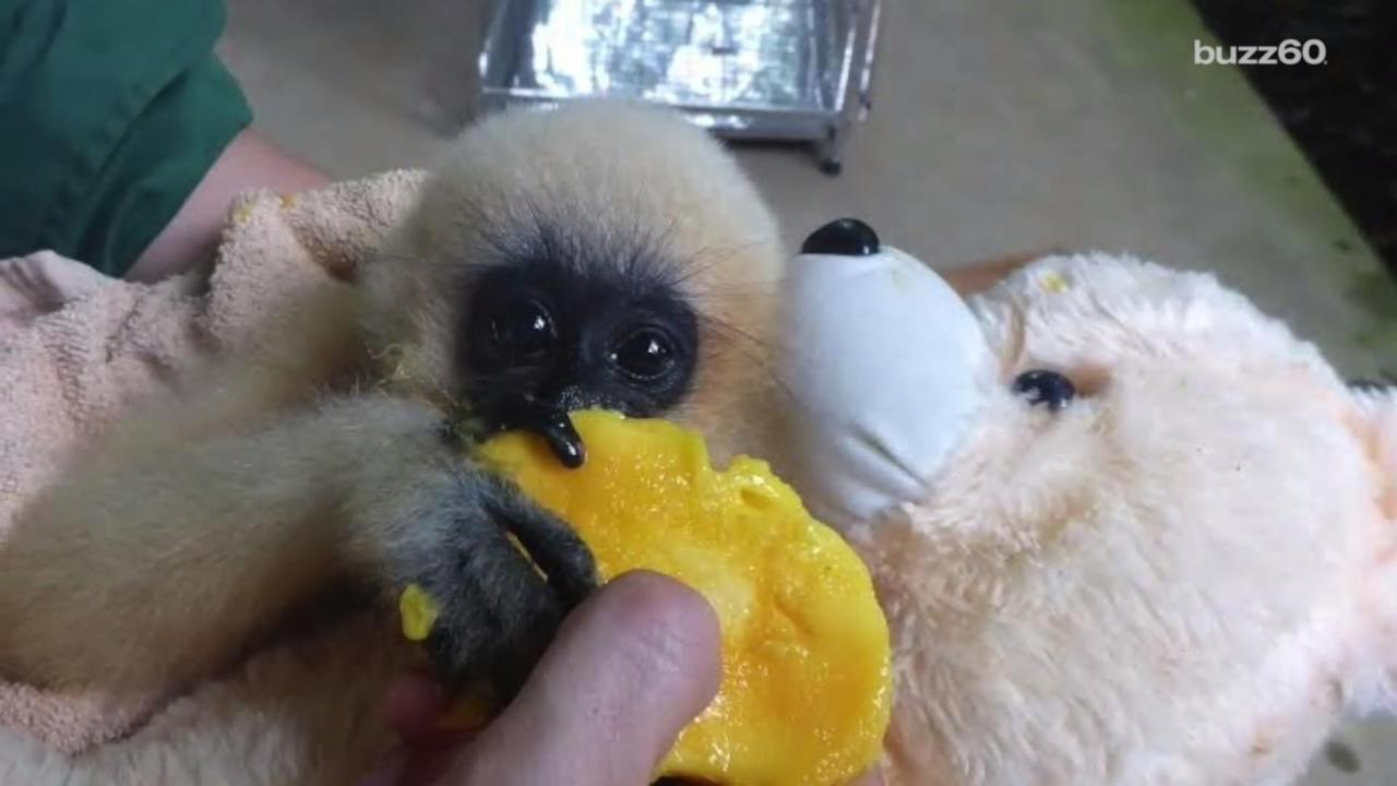 Rescued Baby Monkey Loves Her Teddy Bear