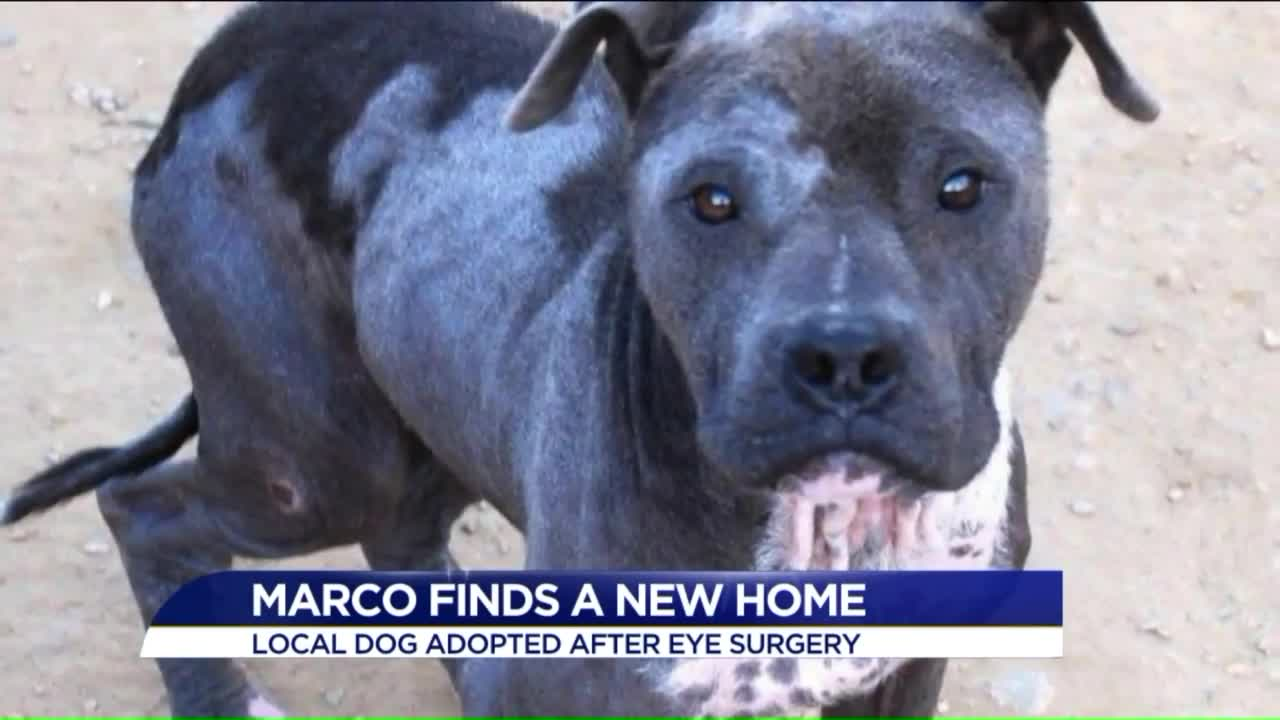 Blind Pit Bull Finds Forever Home, Gets Eyesight Back