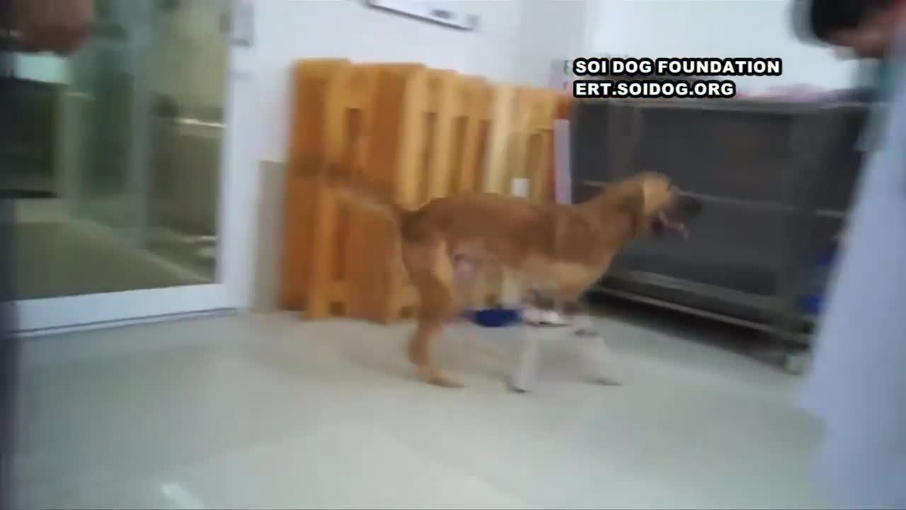 Wounded dog plays on prosthetic legs.