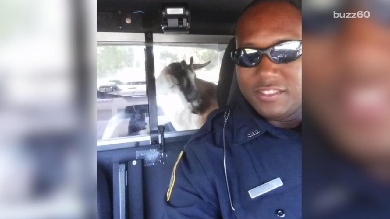 Goat Ends up in the Back of a Police Car