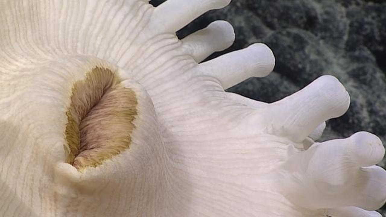 A Giant Anemone In Deep Ocean Stumps Scientists