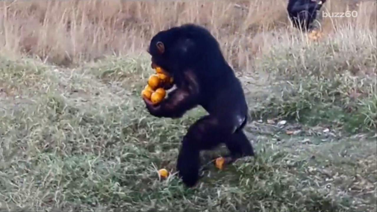 Chimp Gets Creative Carrying 12 Oranges