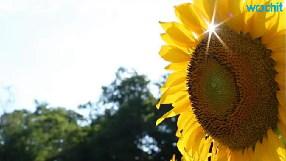 Why Do Sunflowers Turn to the Sun?