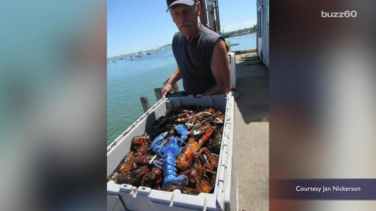 Lobsterman Catches Rare Bright Blue Lobster
