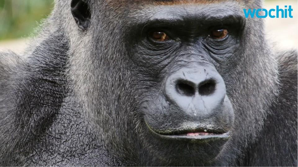 Eastern Gorilla Has Become Critically Endangered