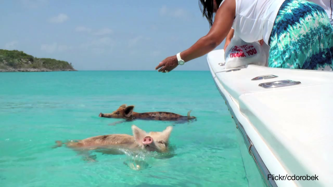 Pigs That Like to Swim