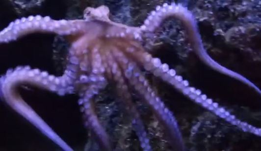 Behold the Dancing Octopus