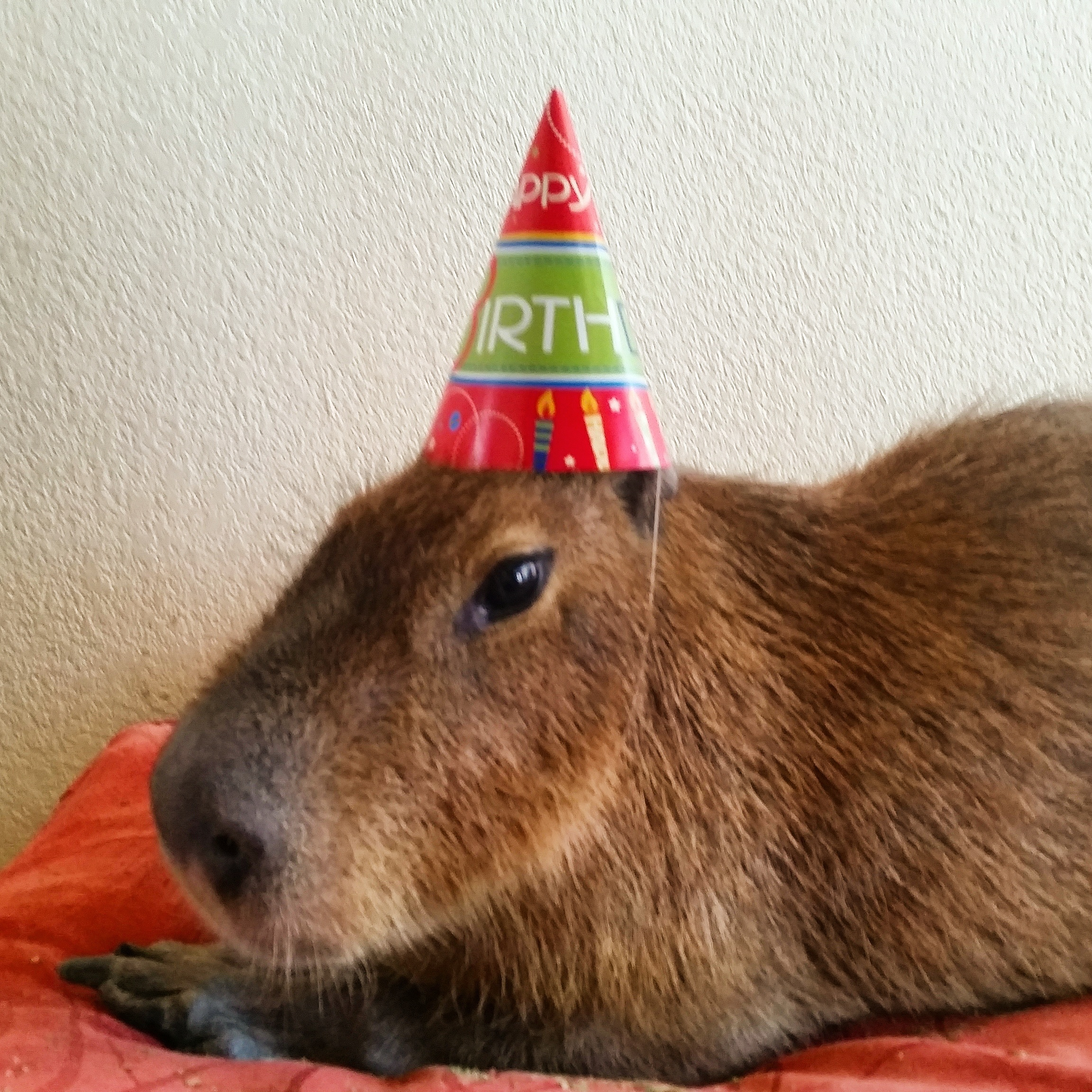 Capybara Gets a Birthday Cake