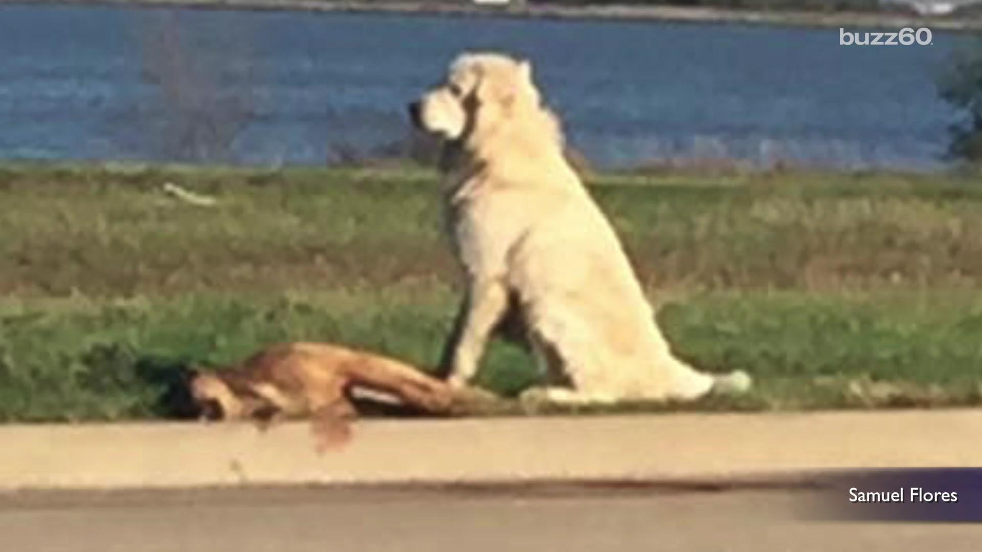 Dog Won't Leave His Dead Friend on Side of the Road