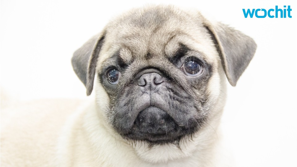 Famous Instragram Pug Lands Book Deal