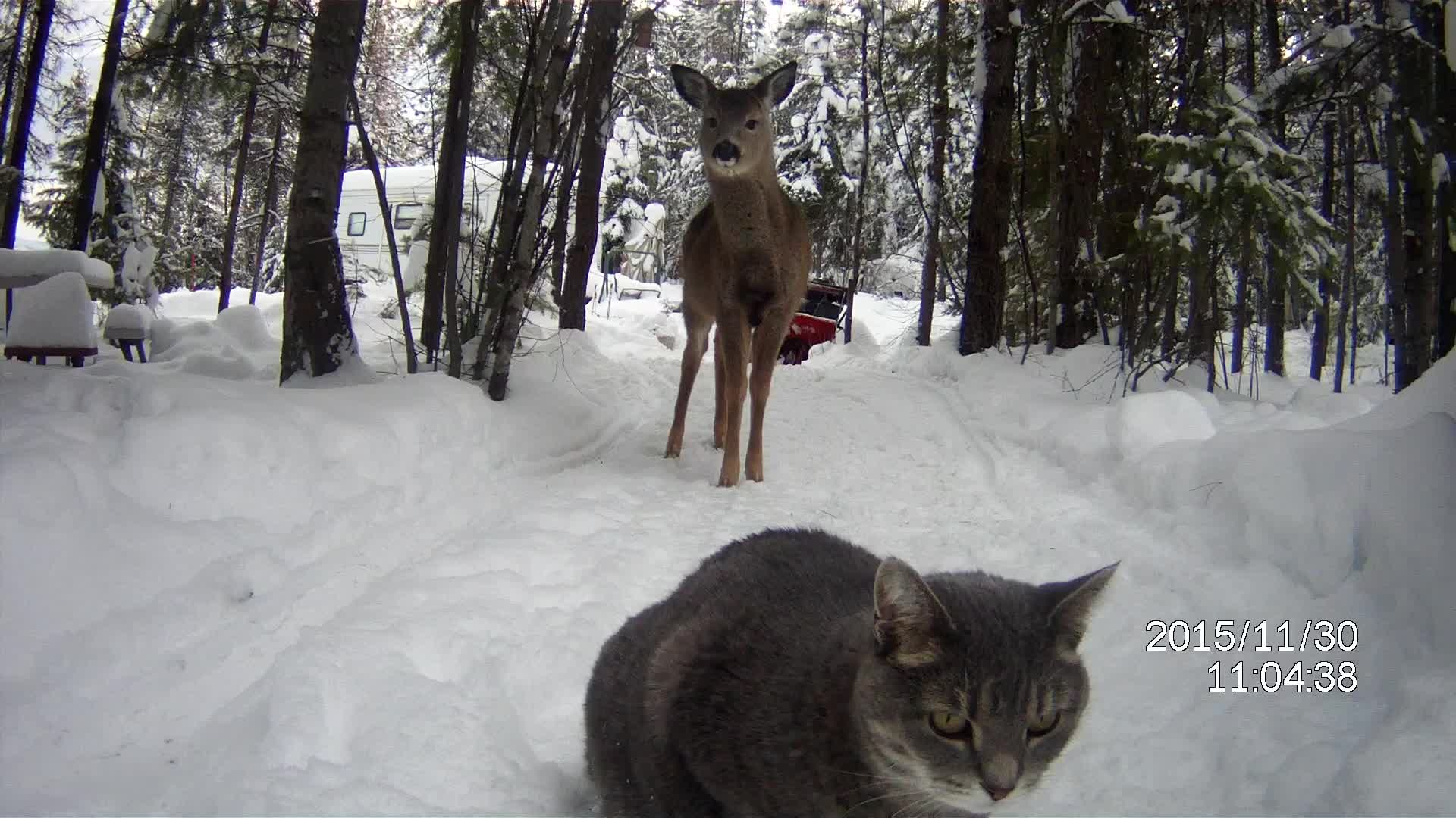 Suspicious Cat Hesitant to Meet Friendly Deer