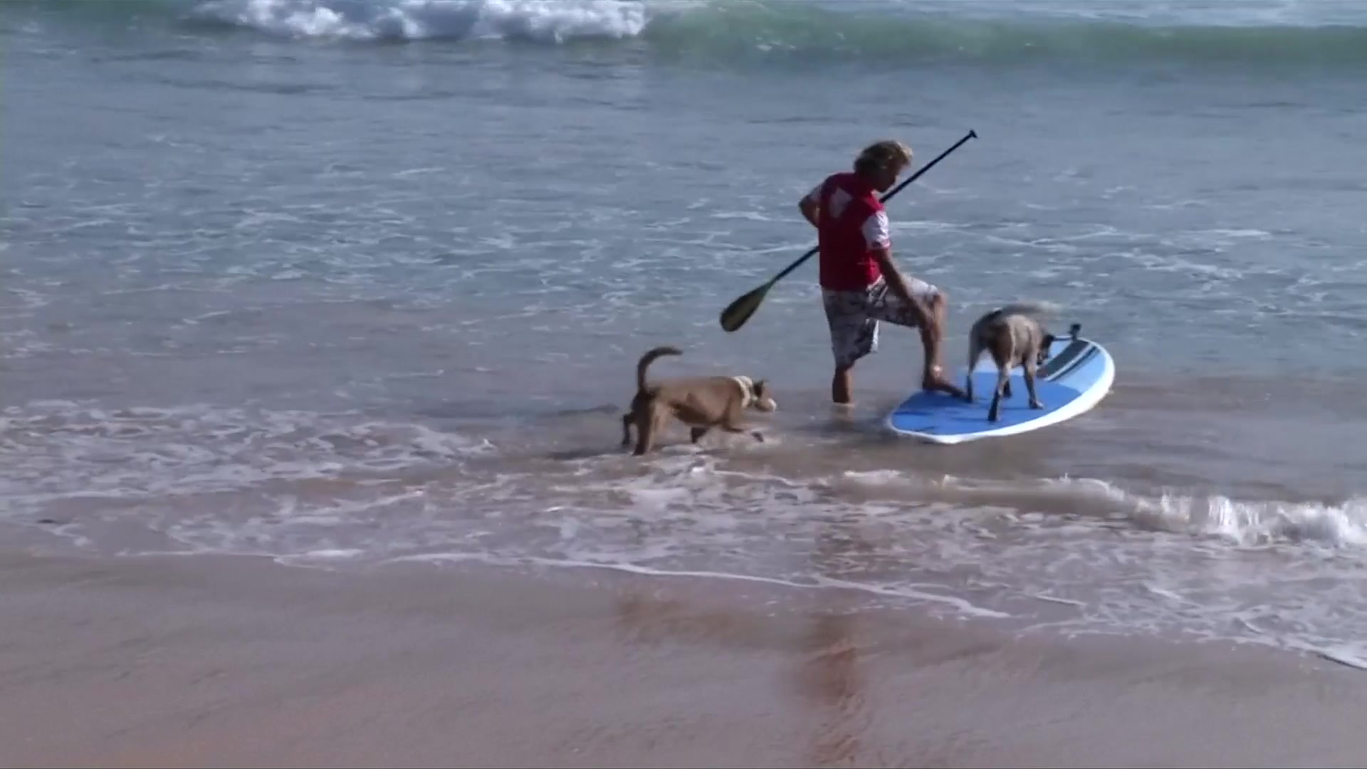 All Paws on Board: Australia's Surfing Rescue Dogs