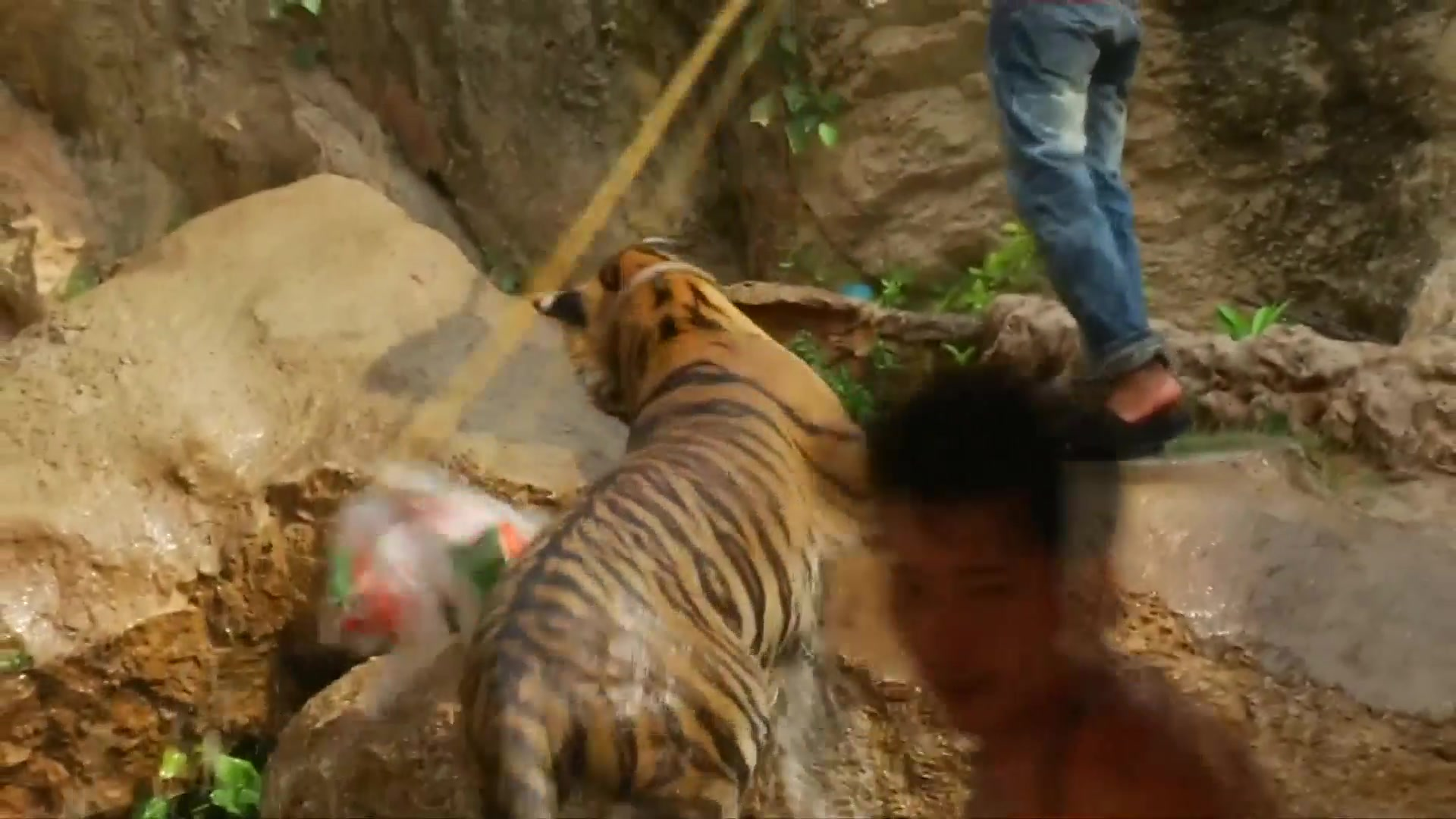 Tiger Temple Looses Bid to Extend Zoo License