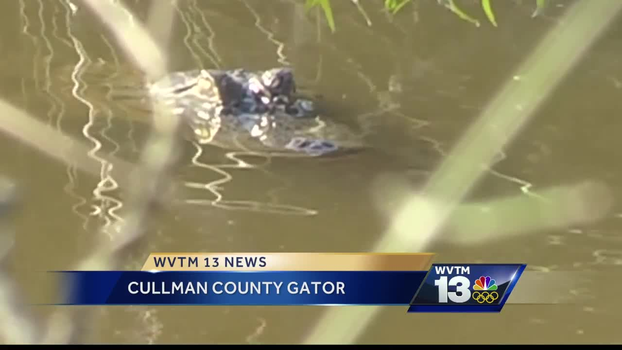 Alligator Lives in Cullman County Swamp