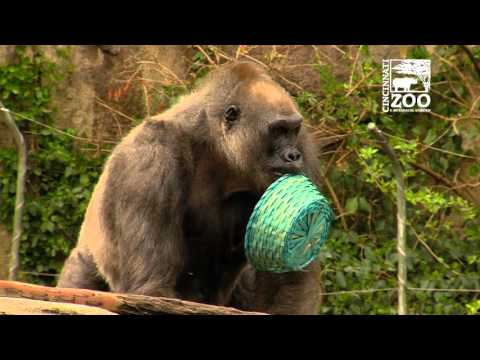 Cincinnati Zoo Hosts Annual Gorilla Easter Egg Hunt