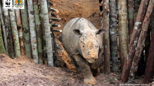 Critically Endangered Rhino Spotted In Indonesian Borneo After 40 Years