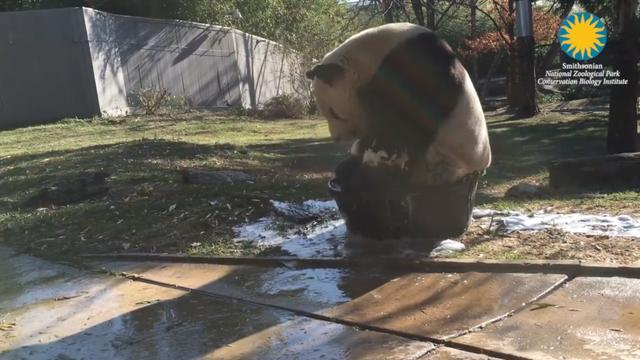 Panda Tian Tian Takes A Bubble Bath And Internet Loses It