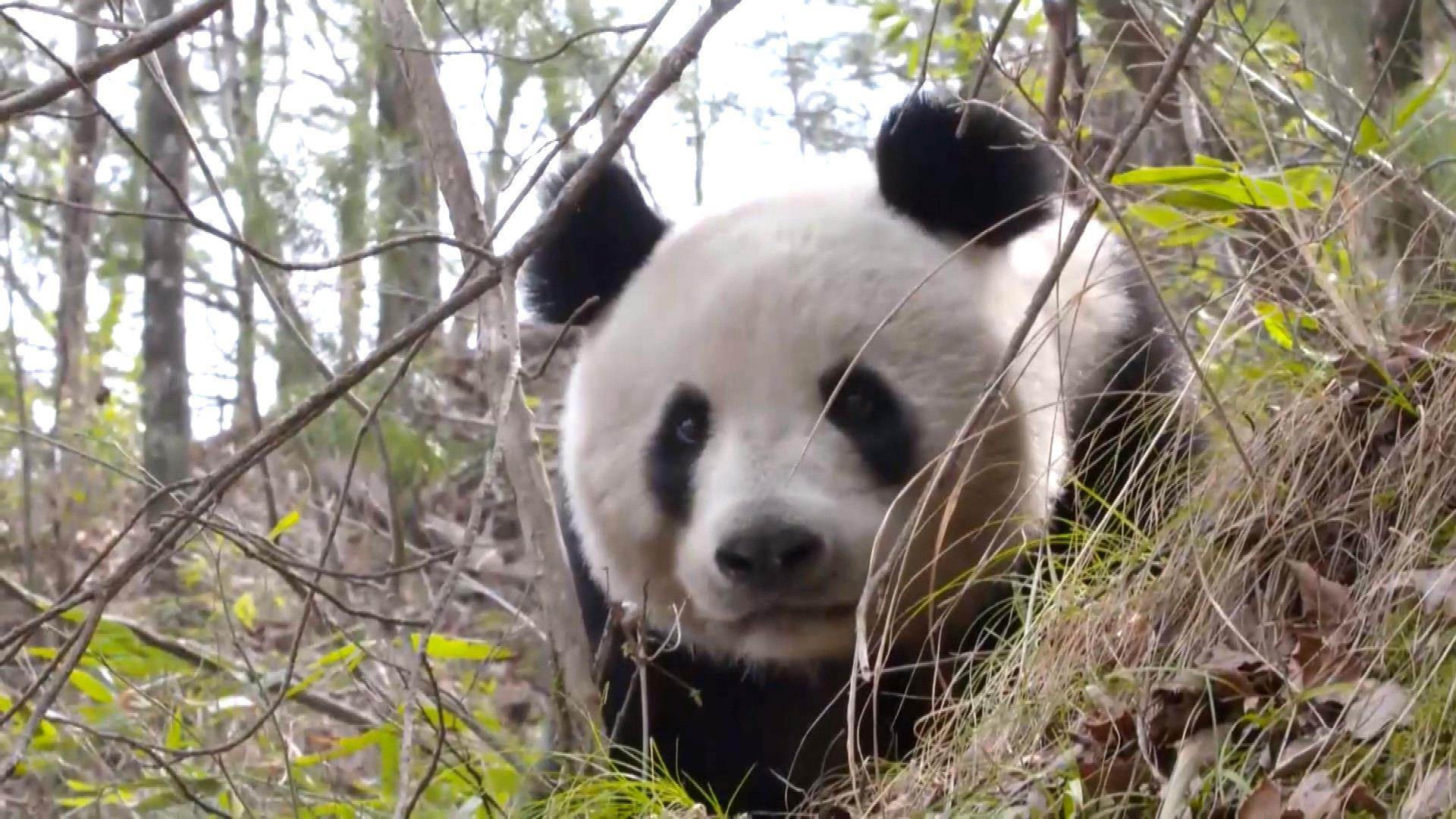 Rare Video Captures Giant Panda, Cub in Wild