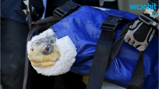 Turtle First Ever To Receive Decompression Treatment