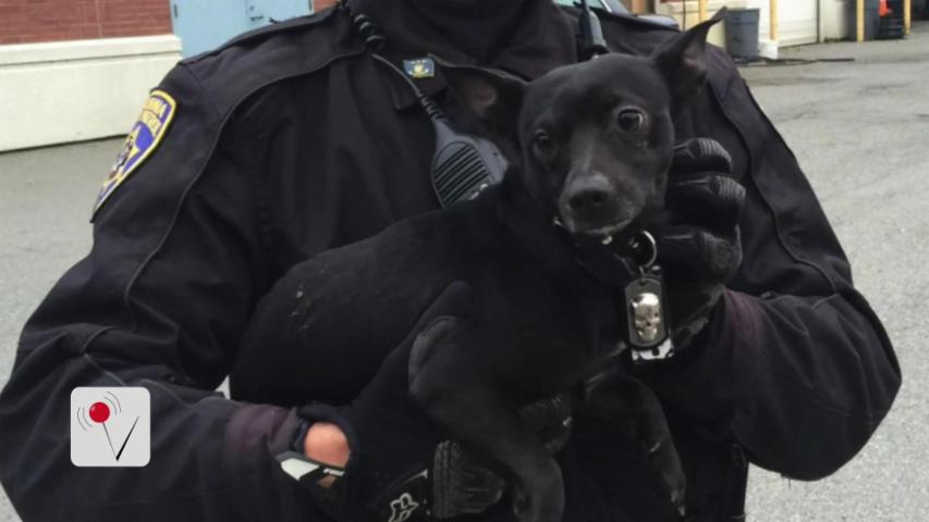 California Highway Patrol Rescue Chihuahua After Chase on Bay Bridge