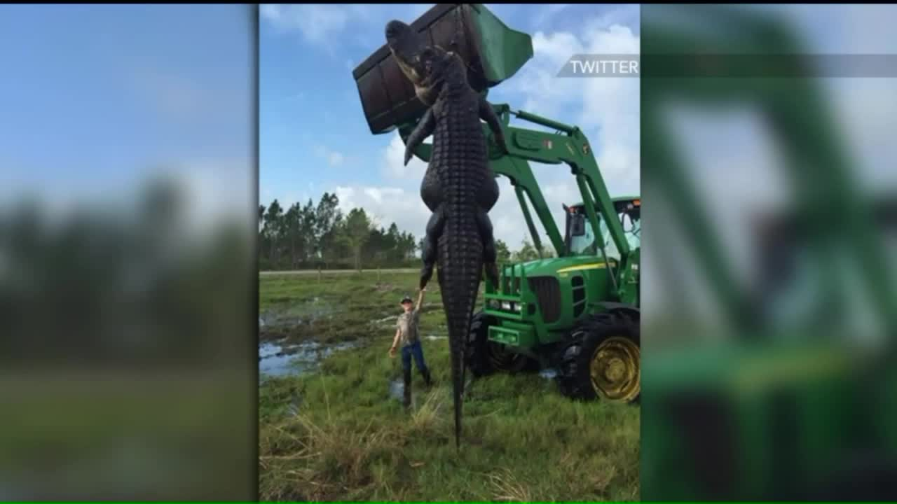 Nearly 15-Foot Alligator Suspected of Eating Cattle Killed in Florida