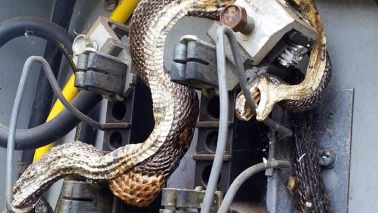 Image Of Two Snakes Who Died In Electrical Box Goes Viral