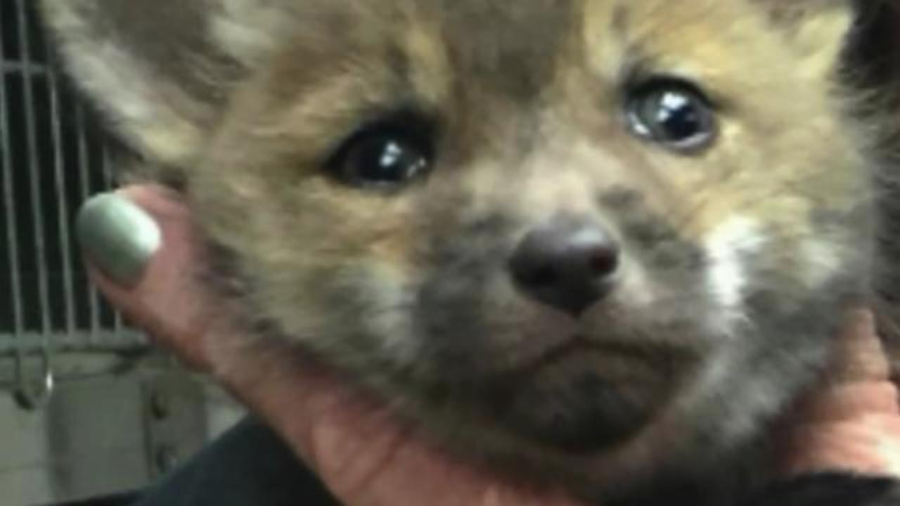 Police officers daring rescue of baby fox caught on camera