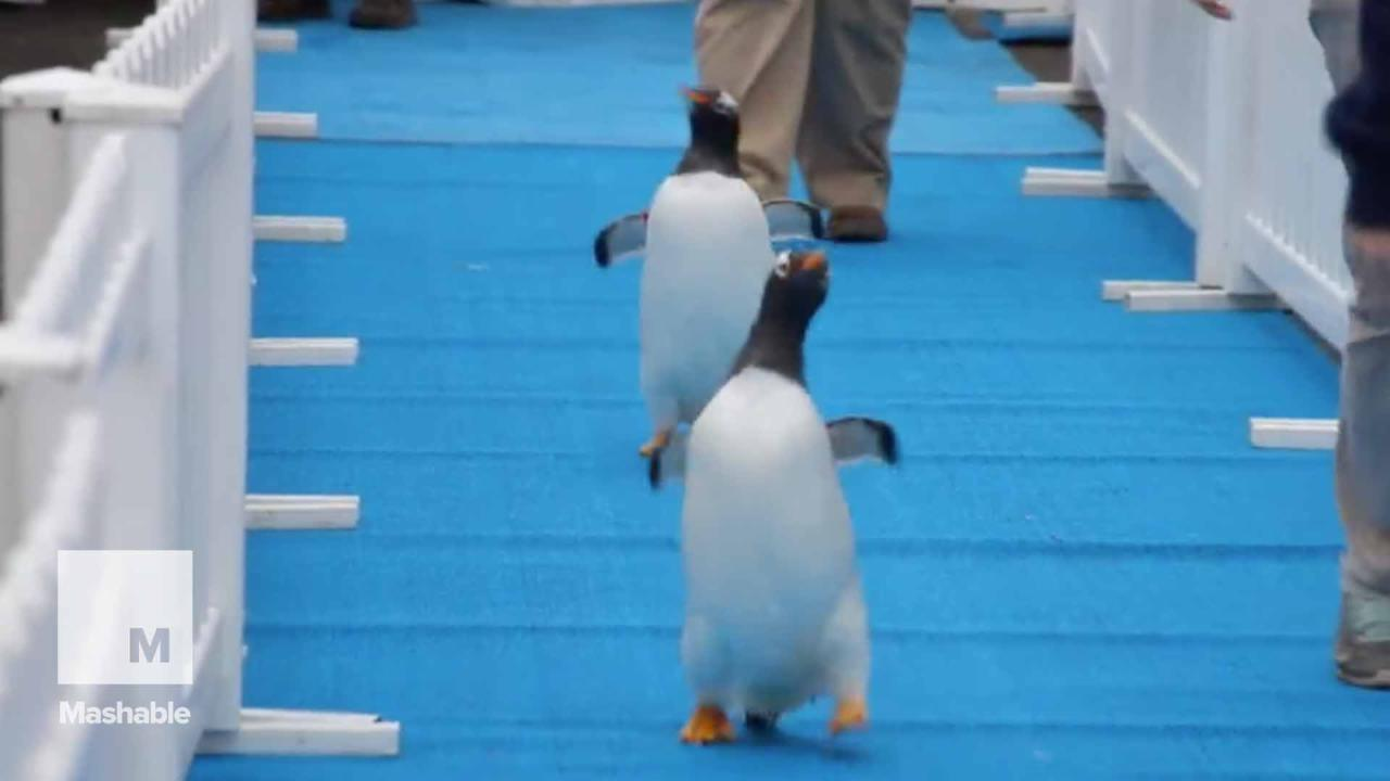Penguins look fly strutting their stuff down the blue carpet at Detroit Zoo