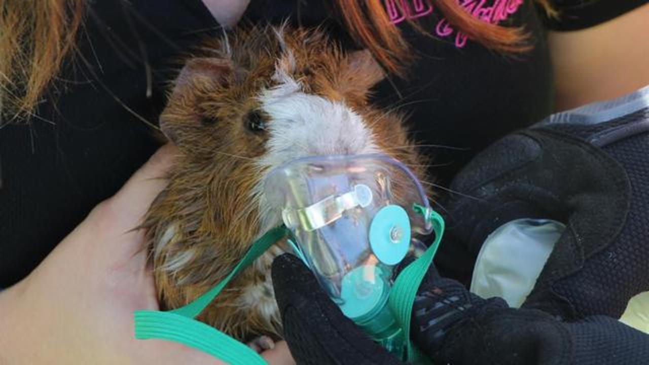 Firefighters Use Oxygen Mask On Guinea Pig For Recovery From House Fire