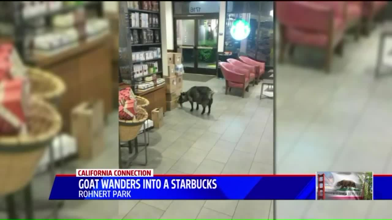 Goat Found in California Starbucks After Running Away from Home