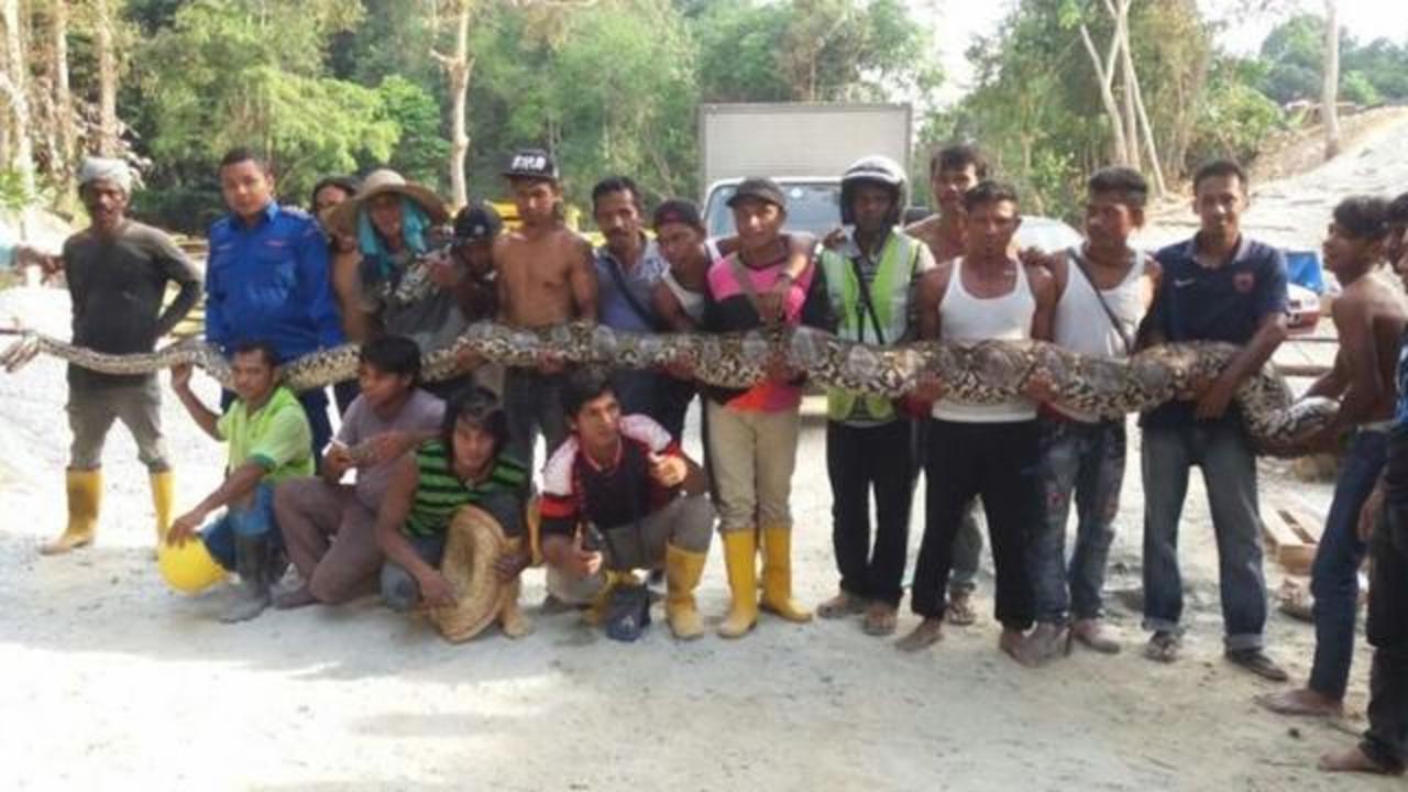 Malaysian Python Could Be World's Longest Captured Snake