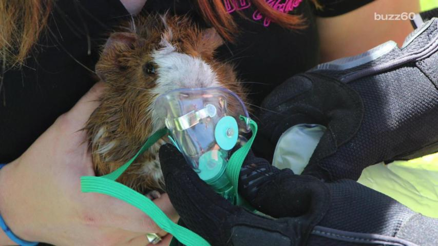 Firefighter Rescues Pet Guinea Pig From House Fire Using Tiny Oxygen Mask