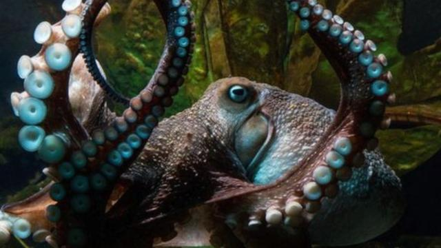 Octopus Breaks Out Of New Zealand Aquarium, Remains At Large