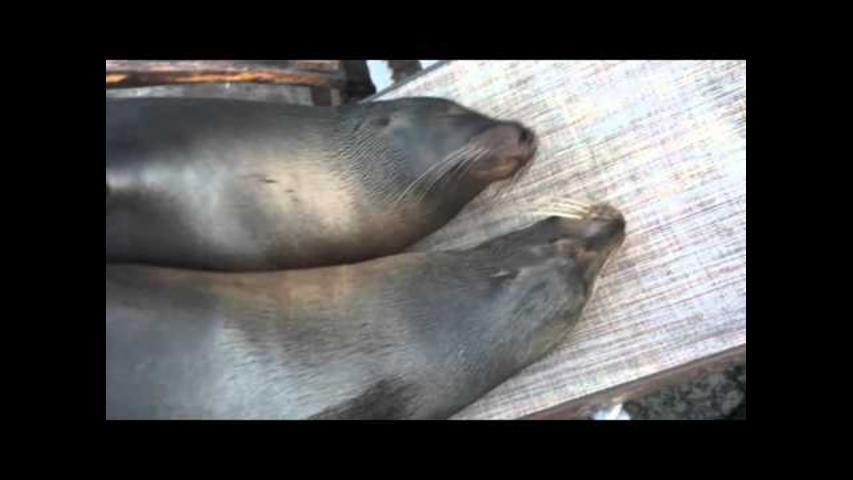 Sea Lions Cuddle Up on Lawn Chair for a Snooze