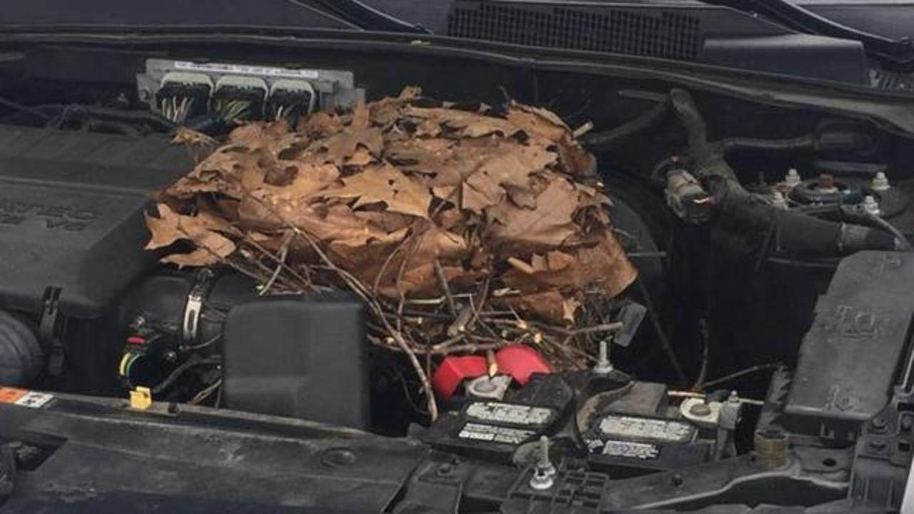 Woman Opens Car Hood, Finds Nest Full Of Baby Squirrels