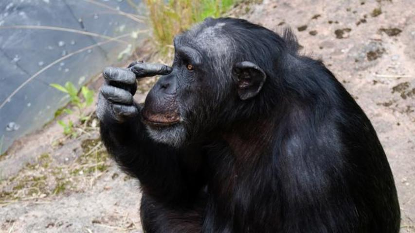Chimpanzee Escapes From Zoo In Japan, Runs Amok On Power Lines