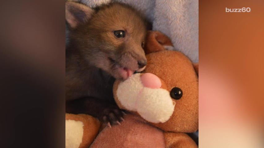 Rescued Fox Cub Loves Snuggling with Stuffed Bunny Toy