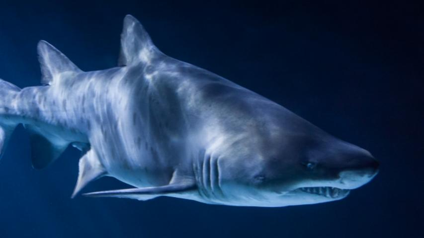 Shark Gills Might Be Why You Can Walk