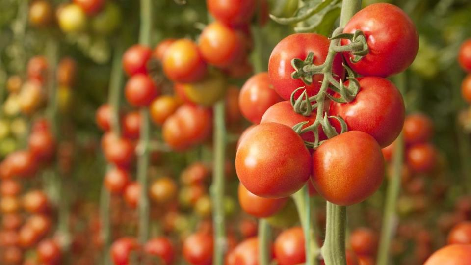 How To Pick The Best Tomato Plants