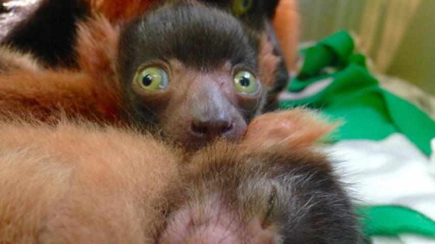 Three Red-Ruffed Lemur Babies Take Internet By Storm
